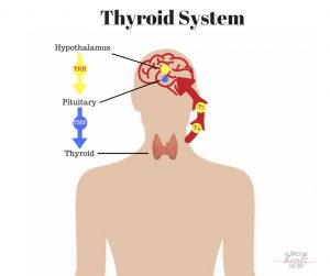 Hormones 101: The Thyroid System | The Family That Heals Together